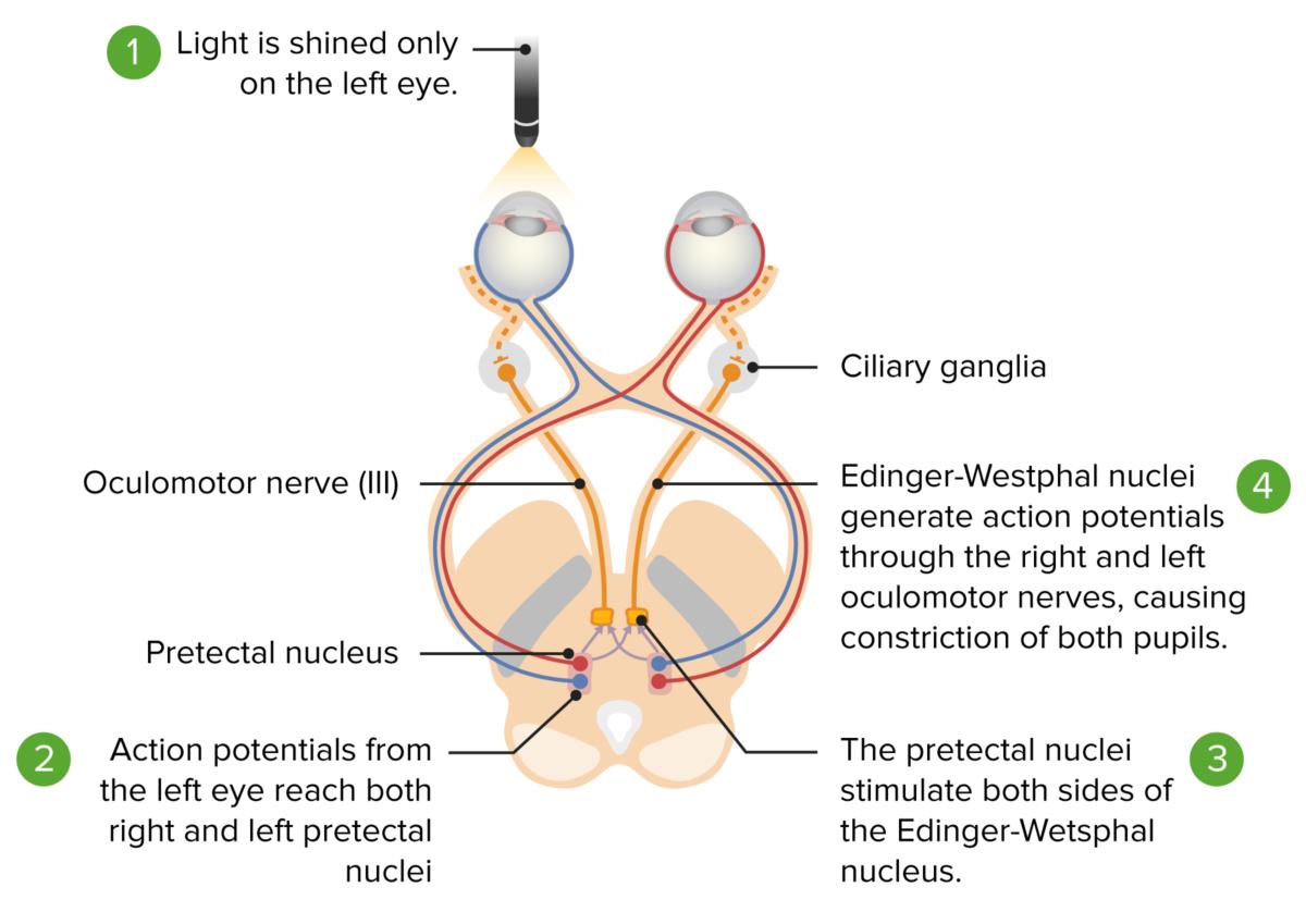 Pupillary reflex pathways