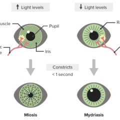 Pupillary response to light