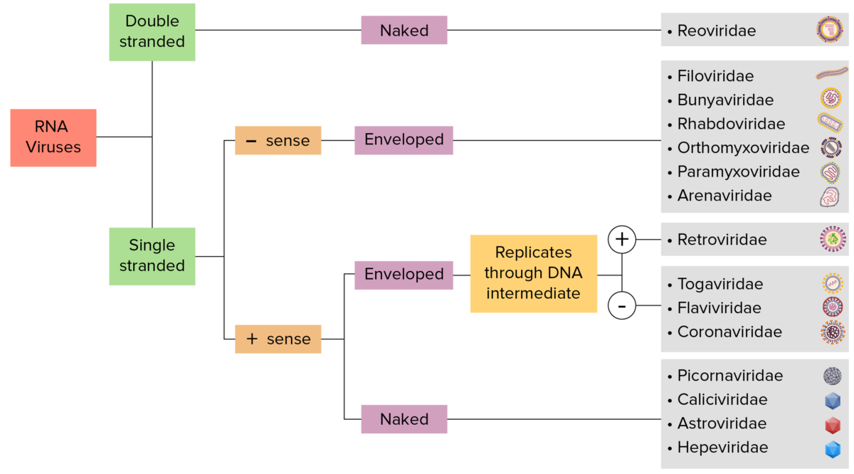 RNA Viruses Flowchart Classification