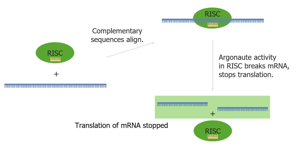 RNA interference via the RISC and a miRNA