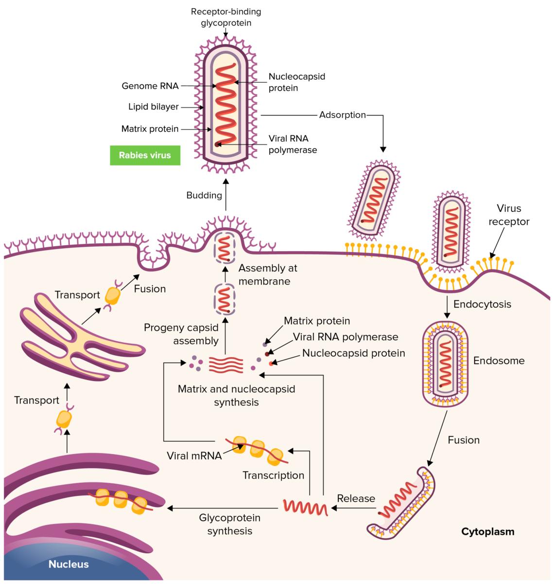Rabies virus life cycle