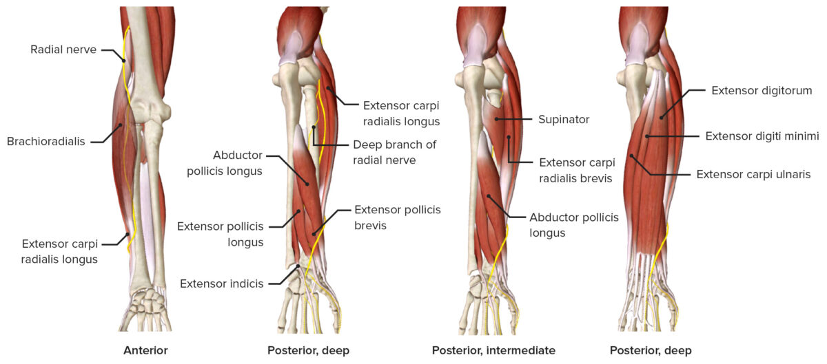 Radial nerve as it passes through the forearm featuring the muscles it innervates