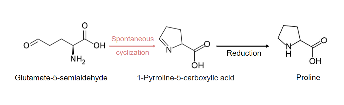 Reactions contributing to proline synthesis