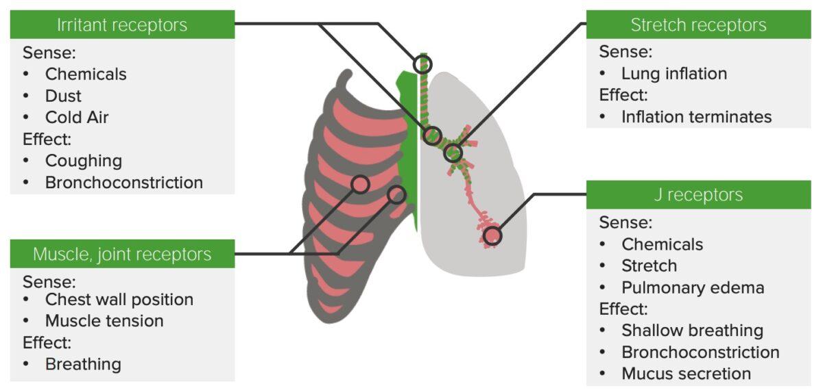 Receptors along the respiratory tract