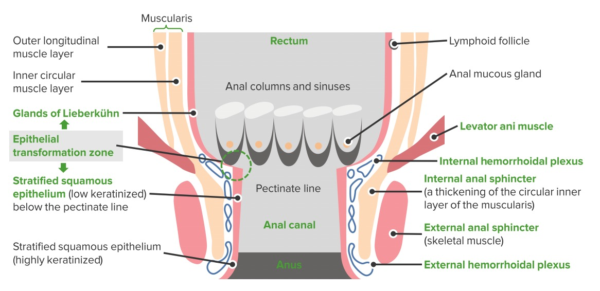Rectum and anal canal schematic