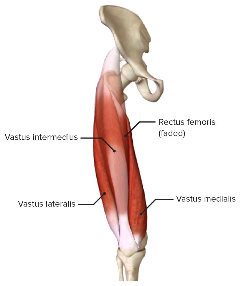 Rectus femoris muscle (quadriceps)