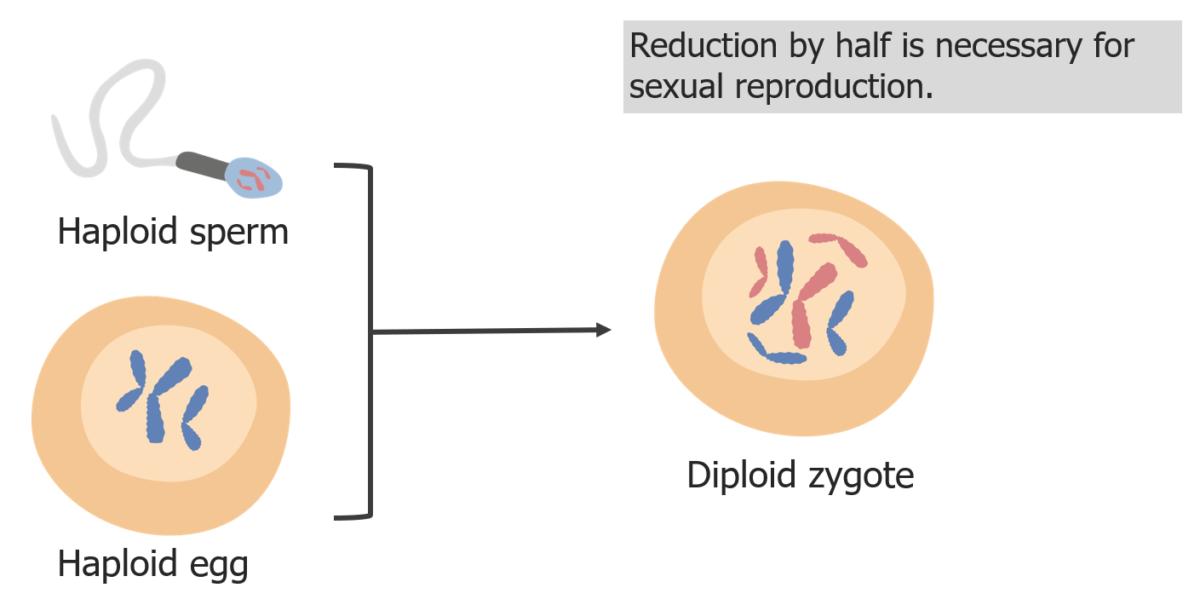 Reduction of chromosomes