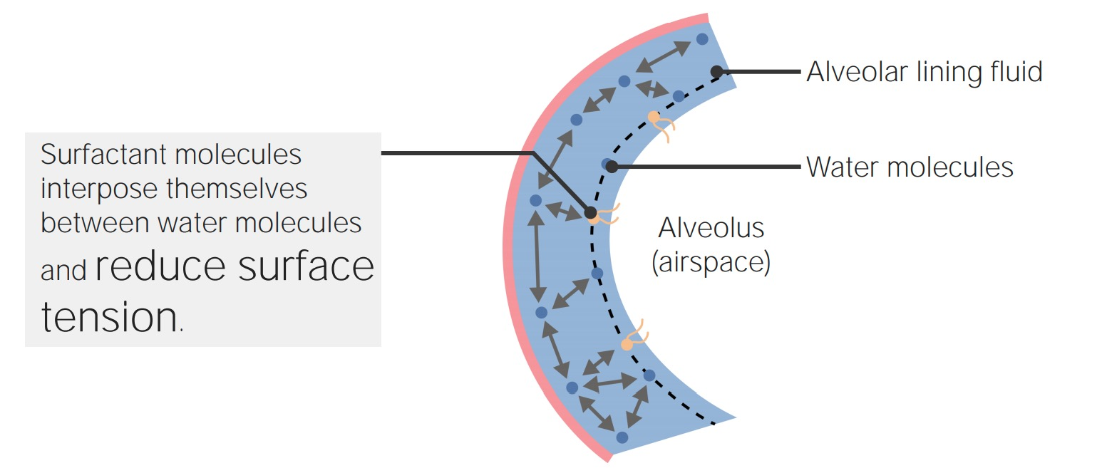 Reduction of surface tension by pulmonary surfactant