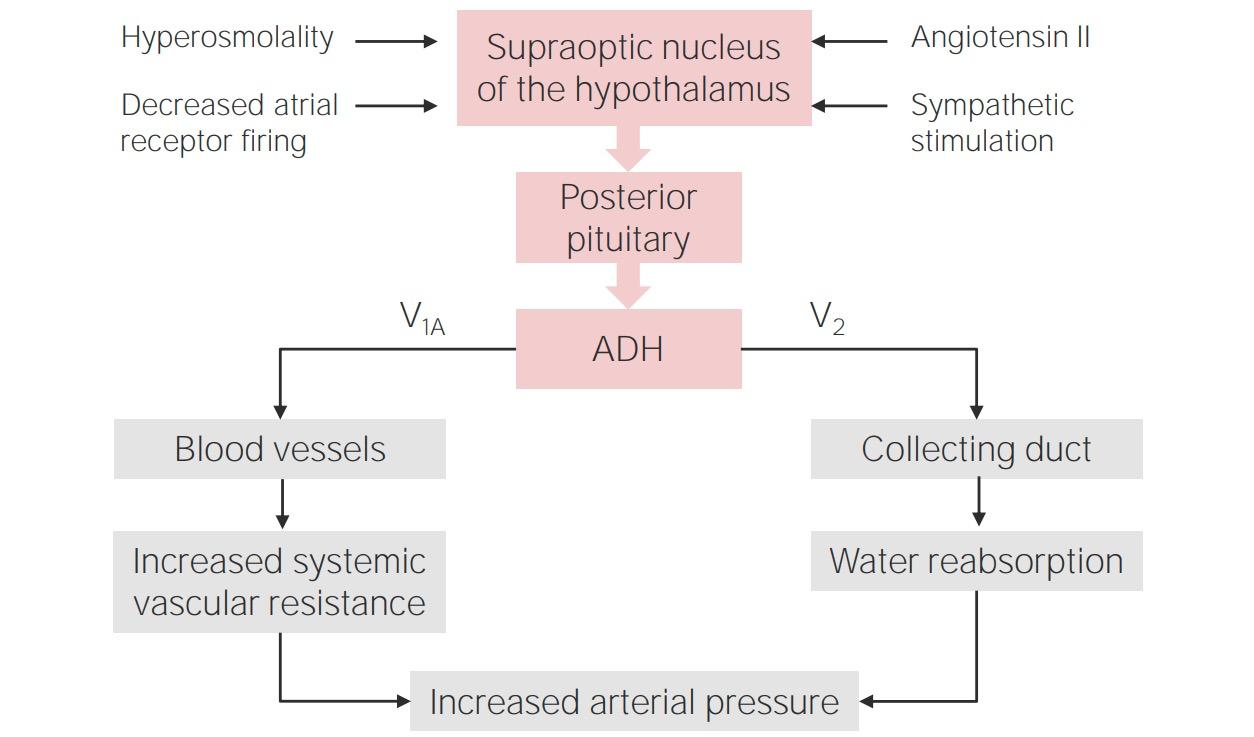 Regulation of Antidiuretic Hormone