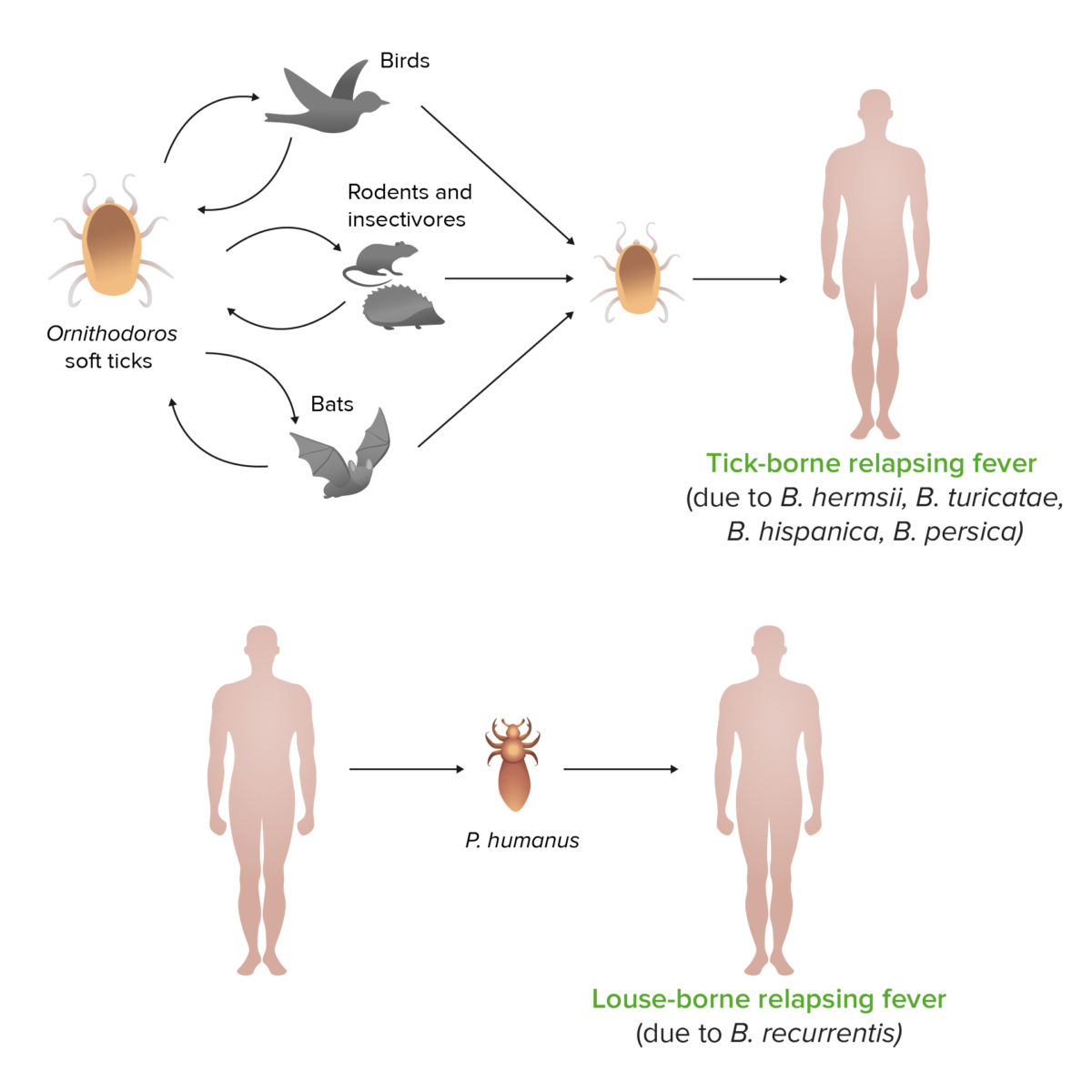 Relapsing fever vectors cycle