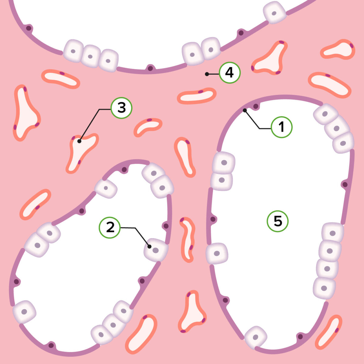 Representation of pulmonary histology in the canalicular stage