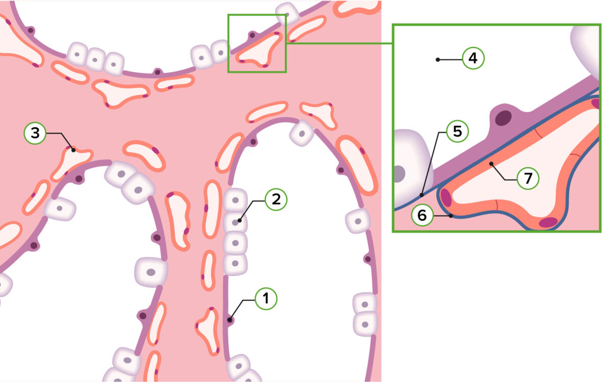 Representation of pulmonary histology in the saccular stage