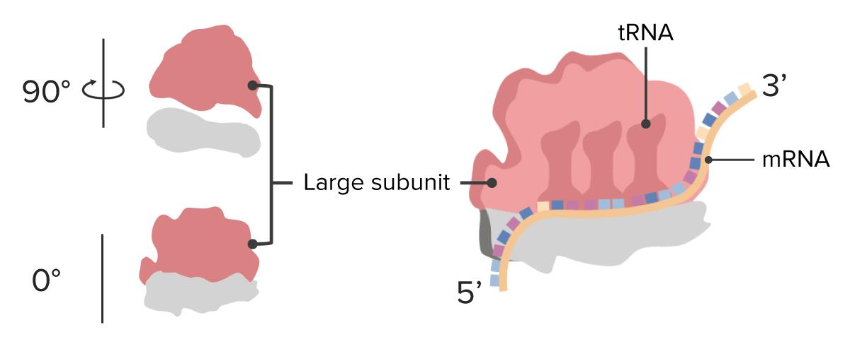 Ribosome subunits large
