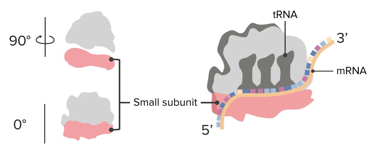 Ribosome subunits small