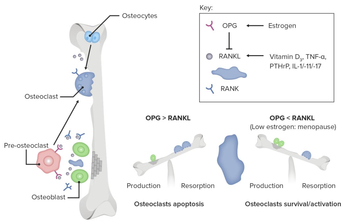 Role of estrogen deficiency in osteoclast activation (1)
