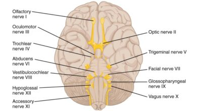 Roots of the cranial nerves