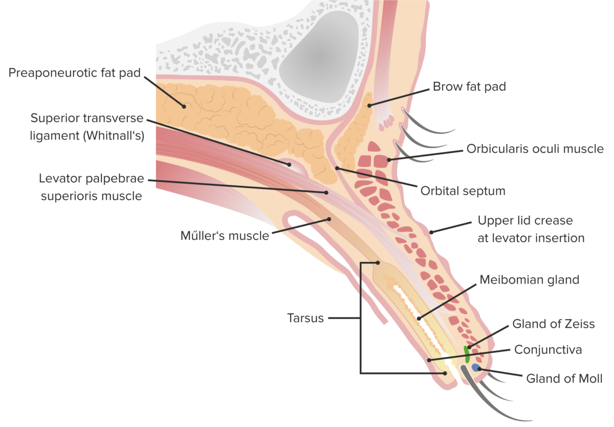 Sagittal cut of the upper lid featuring its internal structure