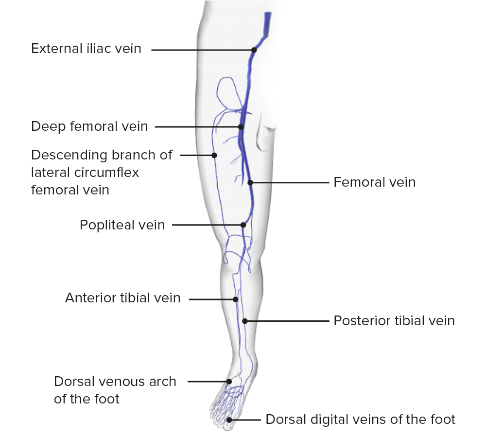Schematic diagram of the deep and superficial venous systems of the lower limb anterior view