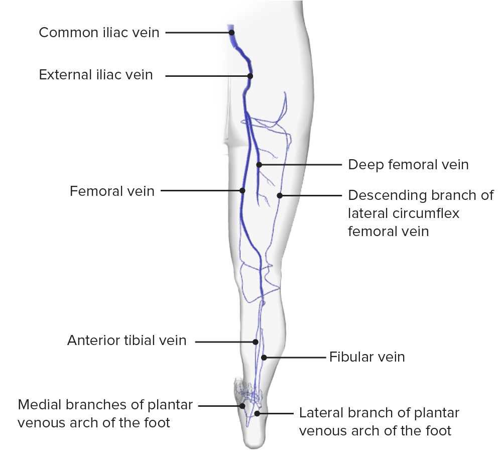 Schematic diagram of the deep and superficial venous systems of the lower limb posterior view