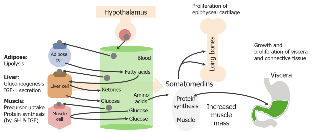 Schematic diagram of the direct and indirect effects of the growth hormone