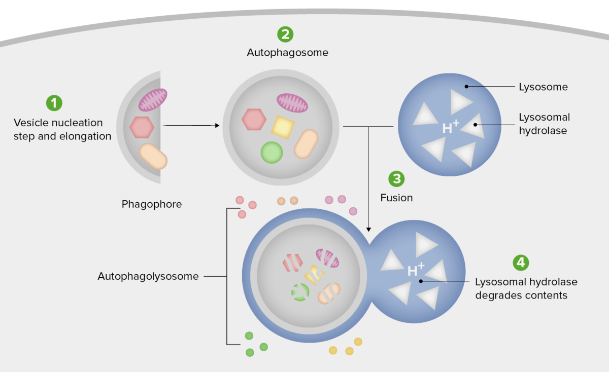 Schematic diagram of the steps of autophagy