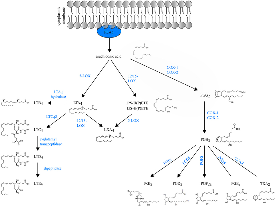 Schematic overview of eicosanoids biosynthesis