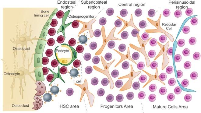 Schematic representation of the bone marrow microenvironment