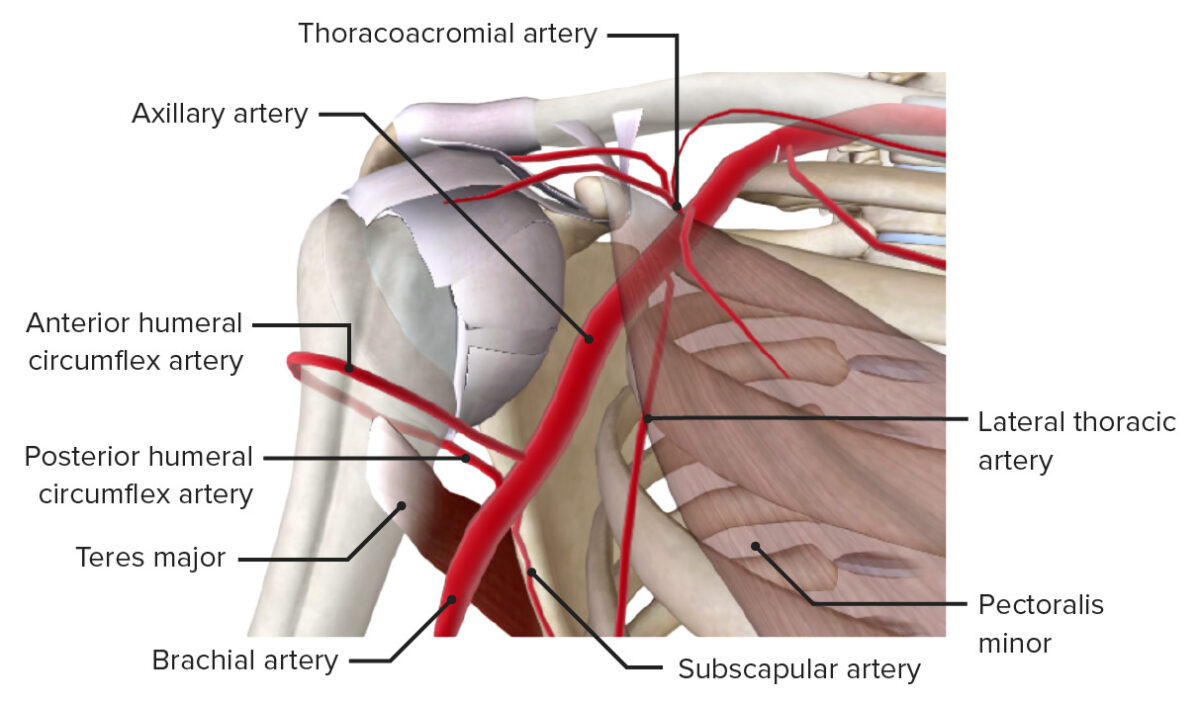 Second and third parts of axillary artery