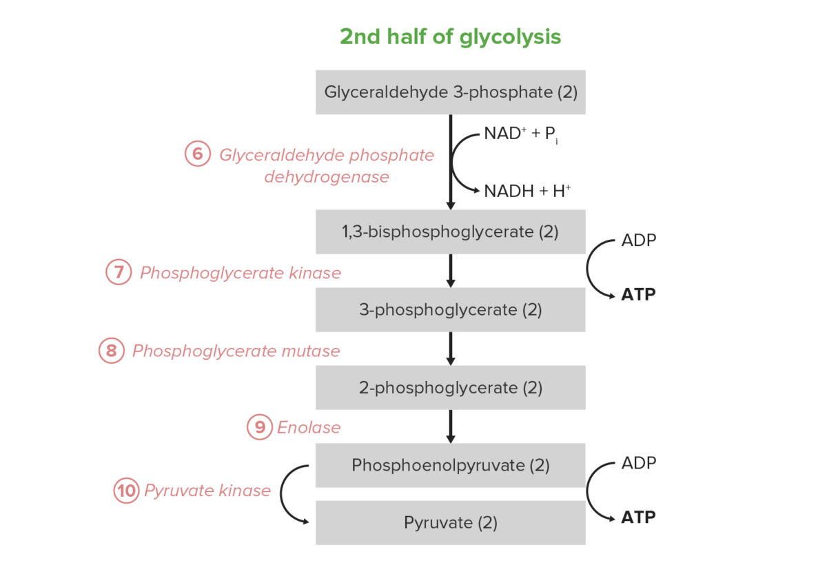 Second half of glycolysis