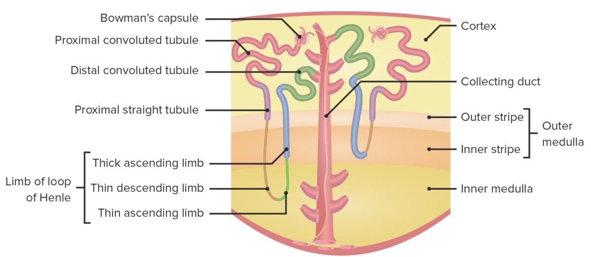 Segments of the nephron