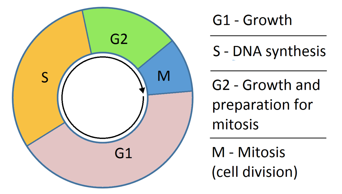 Simple cell cycle dna