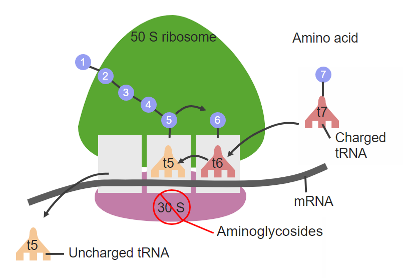 Site of action for aminoglycosides