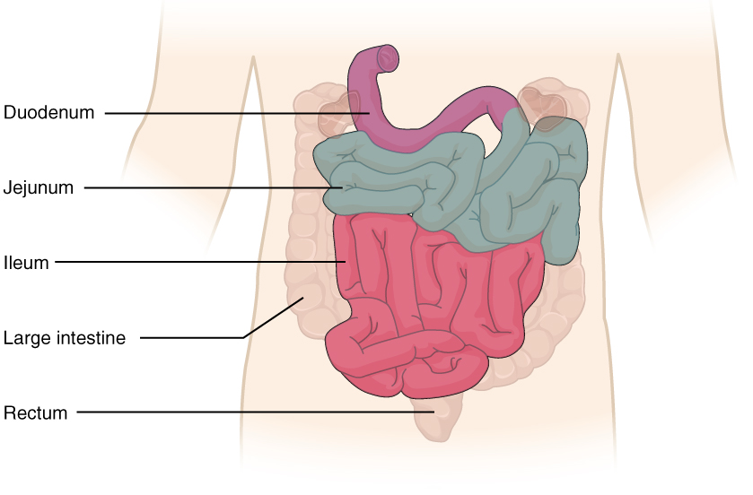 Small intestine and its parts