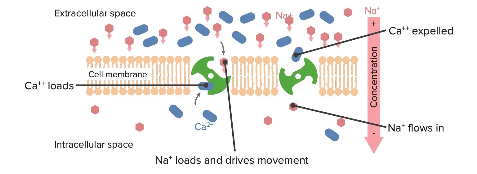 Sodium-calcium pump in the cell