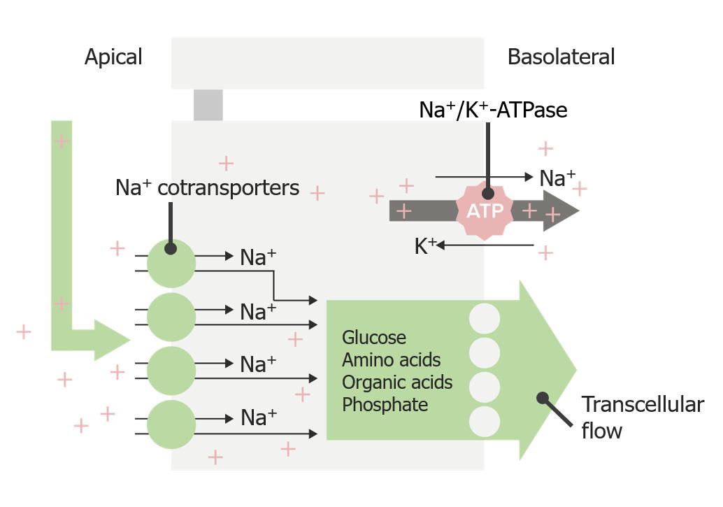 Sodium reabsorption via transcellular cotransport