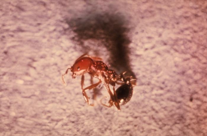 Solenopsis invicta ant