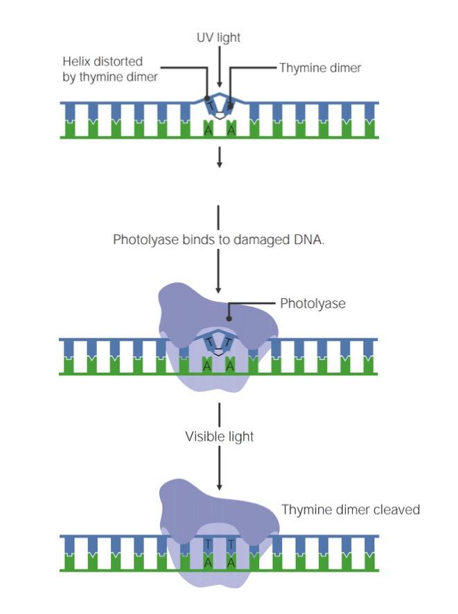 Steps of DNA photorepair