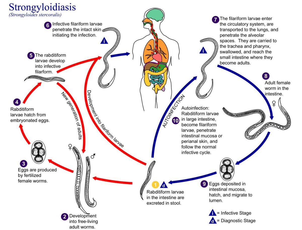 Strongyloides Life Cycle