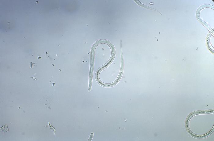Strongyloides sp.