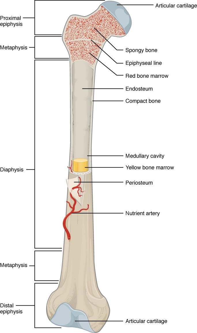 Structure of a long bone (femur)