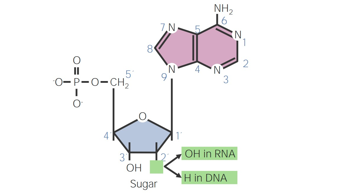 Structure of a nucleotide