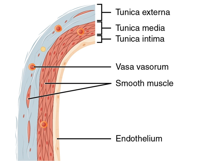 Structure of a vein wall