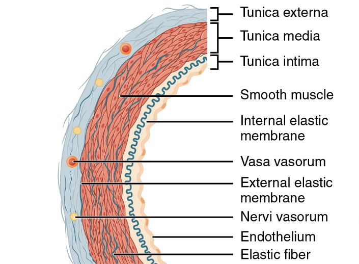 Structure of an artery wall