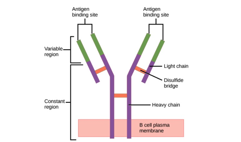 Structure of the antibody