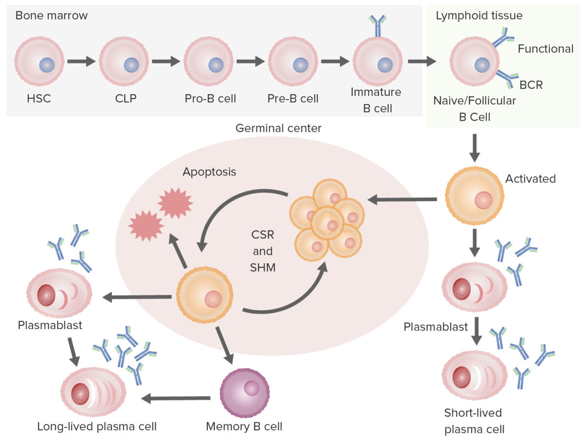 Summary of B-cell development to differentiation