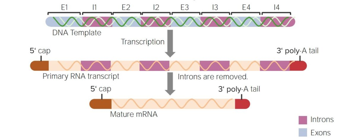 Summary of post-transcriptional modifications of hnRNA