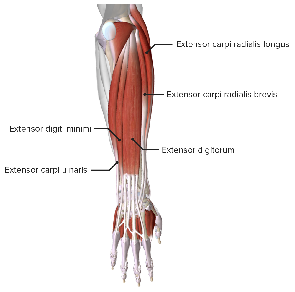 Superficial extensor muscles of the hand
