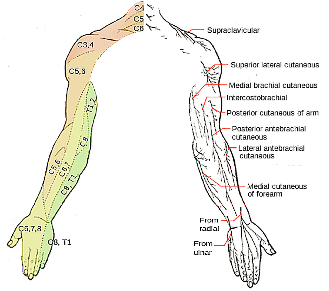 Superficial innervation of the upper limbs