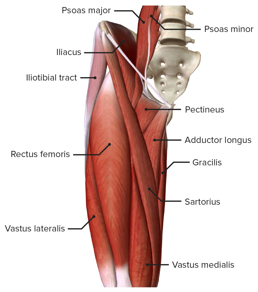 Superficial muscles of the anterior compartment of the thigh