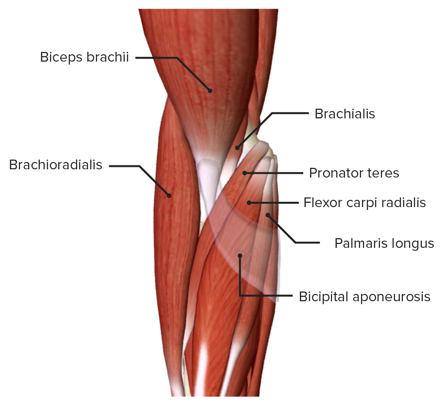 Superficial muscles of the right cubital fossa